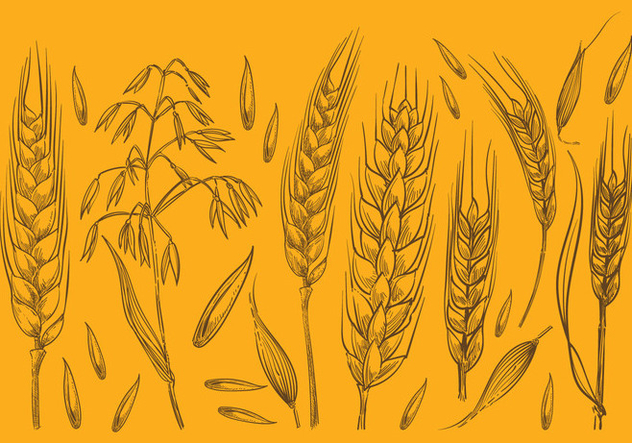 Hand Drawn Oat Sketches - Free vector #392789
