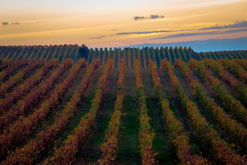 Vineyard in colors - Free image #396649