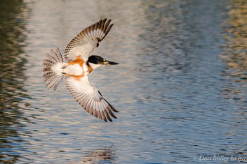 Belted Kingfisher - image gratuit #397849