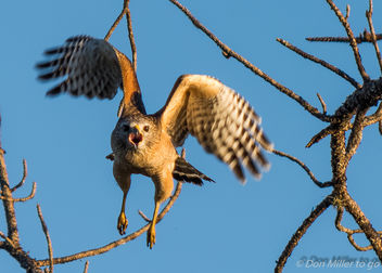 Red-shouldered Hawk - image gratuit #402819