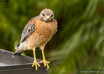 Red Shouldered Hawk - image gratuit #404239