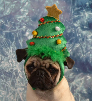 Christmas Tree Pug - Free image #404399