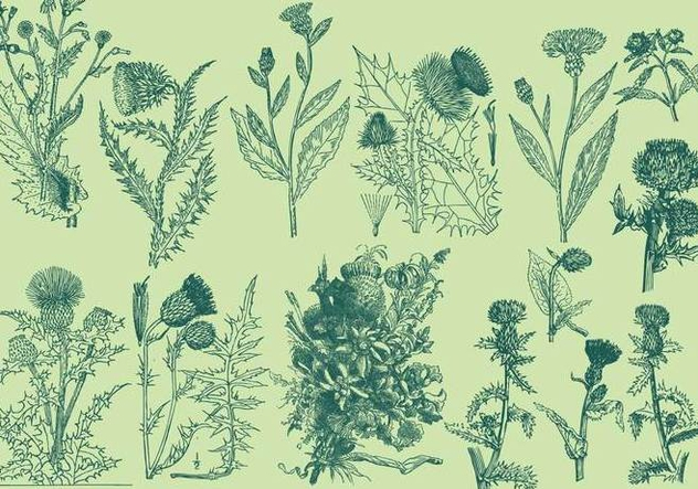 Vintage Thistle Illustrations - Free vector #405019