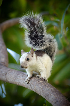 Variegated Squirrel - image #405289 gratis