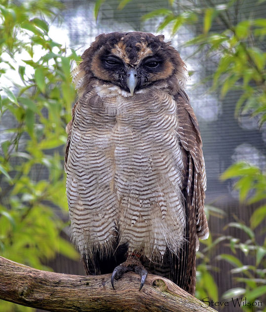 Brown Wood or Asian Owl - image #409189 gratis