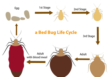 Bed Bug Life Cycle - vector gratuit #409269