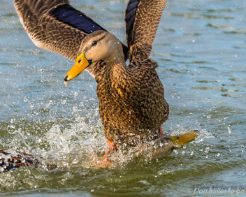 Duck Fight - Free image #409669