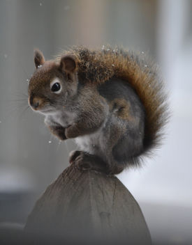 Patches The Red Squirrel - image gratuit #410279