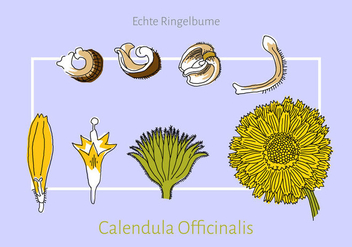 Free Calendula Vector Illustration - бесплатный vector #410589