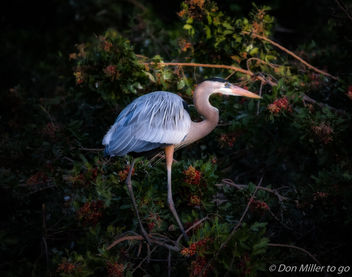 Great Blue Heron - image gratuit #412419