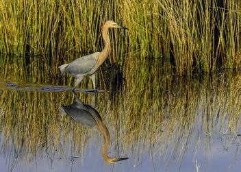 Reddish Egret Reflection - image #412669 gratis