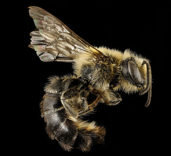 Colletes aestivalis, m, right side, Shenandoah NP, VA_2016-12-22-12.53 - Free image #416429