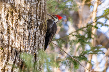 Pileated Woodpecker Centennial Park - Kostenloses image #416759