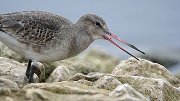 Black-tailed Godwit at Martin Mere - image #421159 gratis