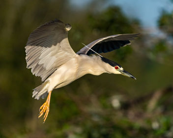 Black-crowned Night Heron - image gratuit #422159