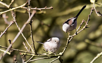 Long-Tailed Tits - image #423079 gratis