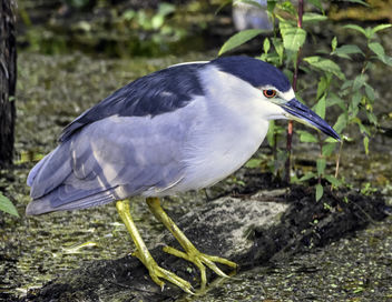 Black Crowned Night Heron - Kostenloses image #424689