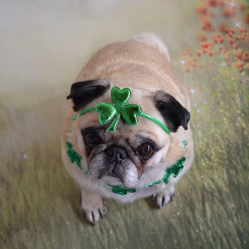 12 Year Old Bailey Puggins Can Still Rock The Shamrocks! - бесплатный image #425599