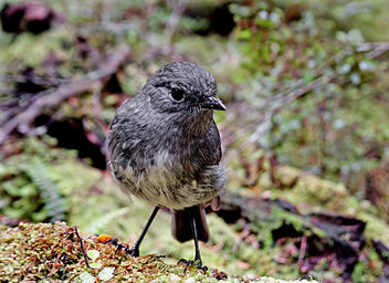 South Island robin (Petroica australis australis) - Free image #427009