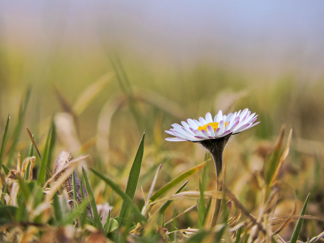 Daisy close up - image gratuit #427409