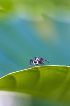 Jumping spider on leaf - image #428759 gratis