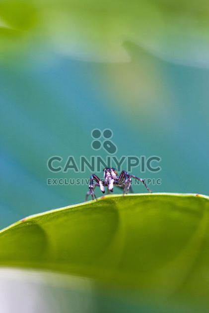 Jumping spider on leaf - Free image #428759