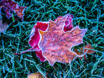 Red leaves - Free image #428959
