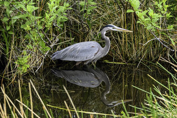 Great Blue Heron Reflected - image #431149 gratis