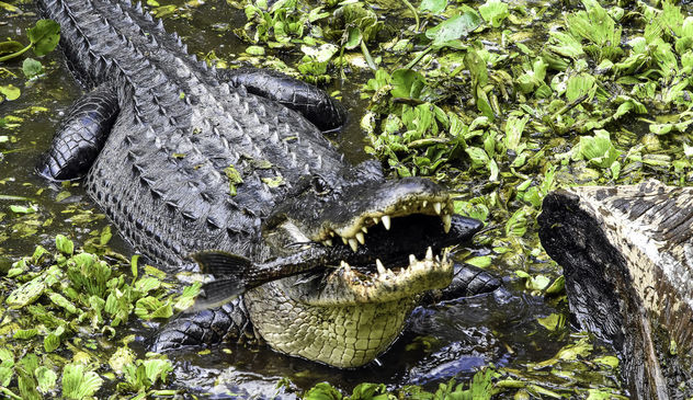 See You Later, Alligator . . . - image gratuit #431739