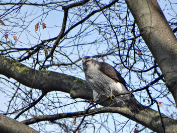 Northern goshawk // Accipiter gentilis - бесплатный image #432369