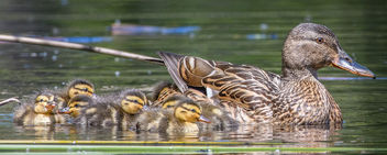 Mallard hen with ducklings - image #432969 gratis