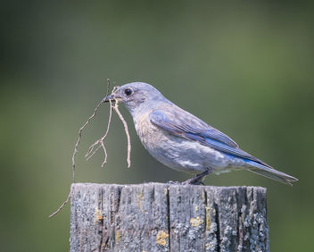 Western Bluebird (f) collecting nesting material - бесплатный image #434019