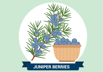 Juniper Berries Vector Illustration - vector gratuit #434139