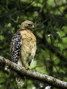 A Red-Shouldered Hawk - image #434469 gratis