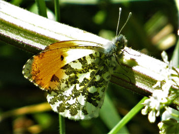 Orange tip male butterfly - бесплатный image #434559