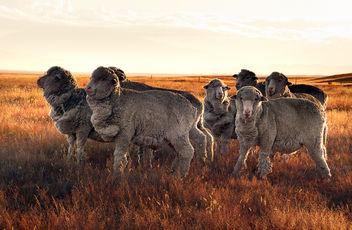 Merino Sheep. - Free image #435639