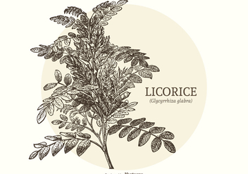 Vintage Engraved Licorice Plant Vector - Free vector #436139
