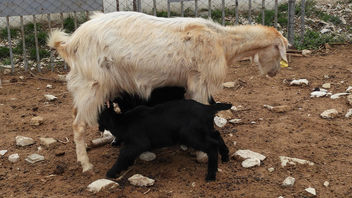 Turkey (Antalya-Ormana) Black twins of white goat - бесплатный image #437559