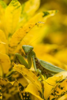 praying mantis on yellow leaf - image #438999 gratis