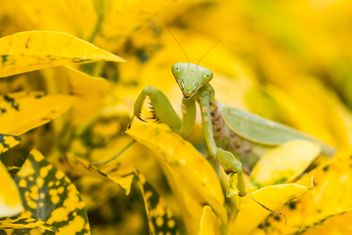 praying mantis on yellow leaf - image #439009 gratis