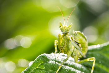 prayer mantis on green leaf - image #439069 gratis