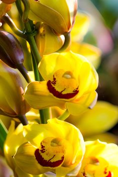 Yellow orchid - image gratuit #439129