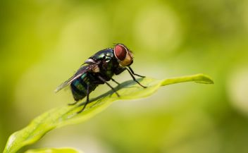 Blow fly - Free image #439169