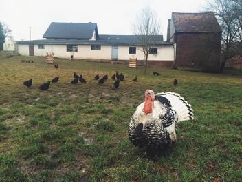 turkey farm homestead - image gratuit #439269