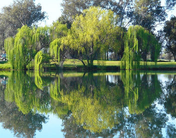 Green Reflections, Weeping Willows - image gratuit #440379