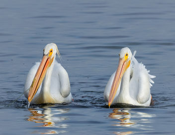 Cooperative Feeding (American White Pelicans) - Kostenloses image #440679