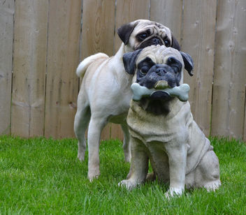 Still fascinated by the Pug statue - бесплатный image #441499