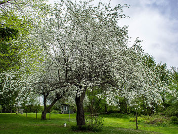 The apple trees are in bloom. - бесплатный image #441509