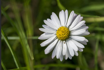A daisy in the field - Kostenloses image #442069
