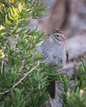 Brewer's Sparrow - Free image #443719